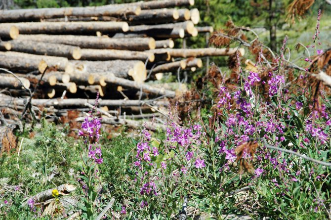 A crop of wildflowers spring up in what until recently was a well-covered lodgepole pine forest. Although the mountain pine beetle epidemic has drastically changed the look of the landscape, Forest Service officials insist the forest isn't dead.  They say it's just going through a transformation, and they're working to ensure the new forest meets the needs of Colorado residents.