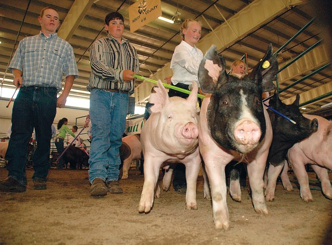 Rock Star, Boss and Big Black try to break free despite the efforts of their handlers, from left, Jake Hockett, Nick DeLuca and Mariah Hoots on Wednesday in the swine showmanship competition at the Routt County Fair. Contestants tried to keep their livestock in line using show sticks.