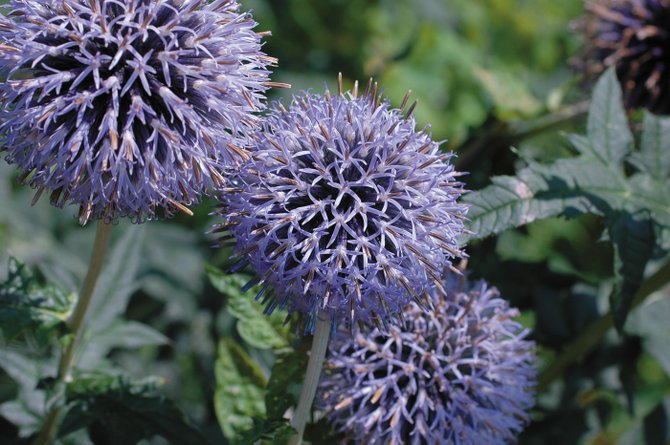 Try planting globe thistle, or Tallow Purple, for late-season purple flowers.