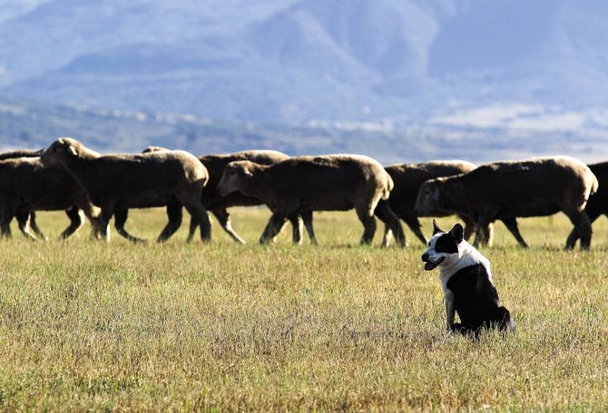 Handlers from across the country will test their dogs this weekend at the sixth annual Steamboat Stock Dog Challenge in sheep-herding tasks including fetching, driving and shud, or the separation of an individual sheep from a group.
