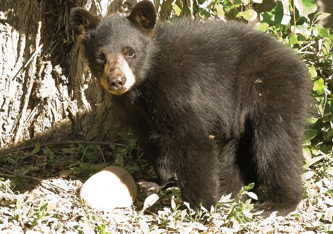 As serviceberries and chokecherries around Steamboat Springs ripen, encounters with black bears are becoming a more common occurrence.