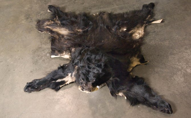 This bear was shot by Kent Nightwalker earlier this year in downtown Steamboat Springs. Nightwalker was sentenced this morning in Routt County Court, but there is still a dispute about whether he must pay the taxidermy costs for the bear.