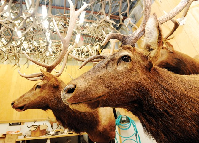 A pair of mounted elk stand guard at B&L Quality Taxidermy in Steamboat Springs. The elk rifle season opened Saturday, and hunters expect at least an average season. A spat of cold weather and snow could help improve it, but a few weeks of warmer weather could spell trouble and make the animals more difficult to find.