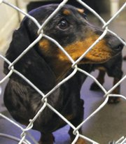 Unnamed male Dachshund