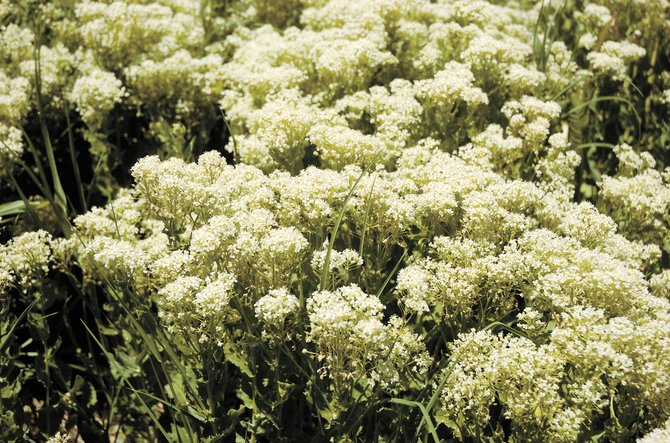 Whitetop, shown in this 2008 photo, is a noxious weed found in Routt County.