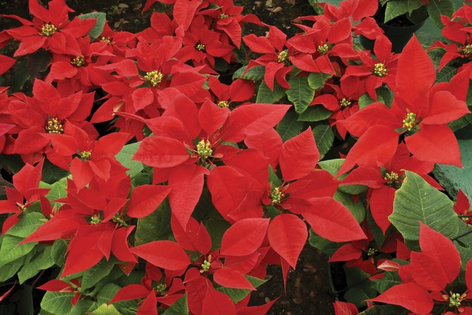 Poinsettias are the most popular holiday plant, and they prefer bright, indirect light and moist soil. Keep them away from drafty areas and from the hot places in your home such as fireplaces and radiator vents.