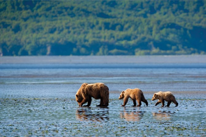 A sow and two yearlings dig for clams while the tide is out in Swikshak Bay, in Katmai National Park.