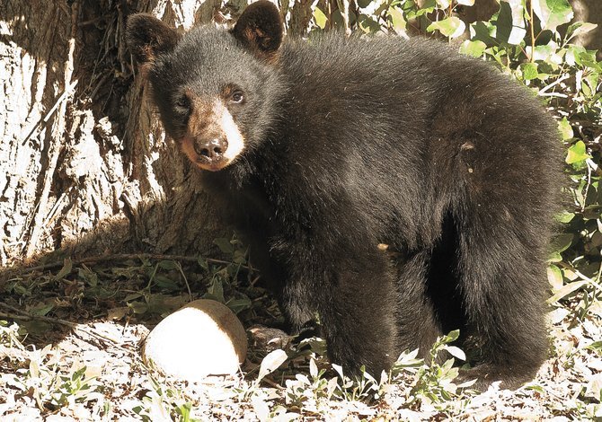 With the first reported bear sighting of 2010 this week, it won't be long before sows and their cubs begin to emerge from hibernation across Steamboat Springs and Routt County.