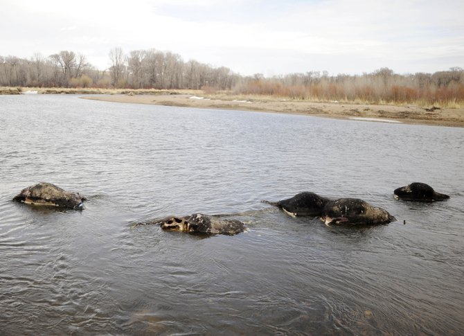 The Routt County Sheriff's Office intends to conduct tests to figure out how 11 cows died in the Yampa River near Hayden in the Yampa River State Wildlife Area.