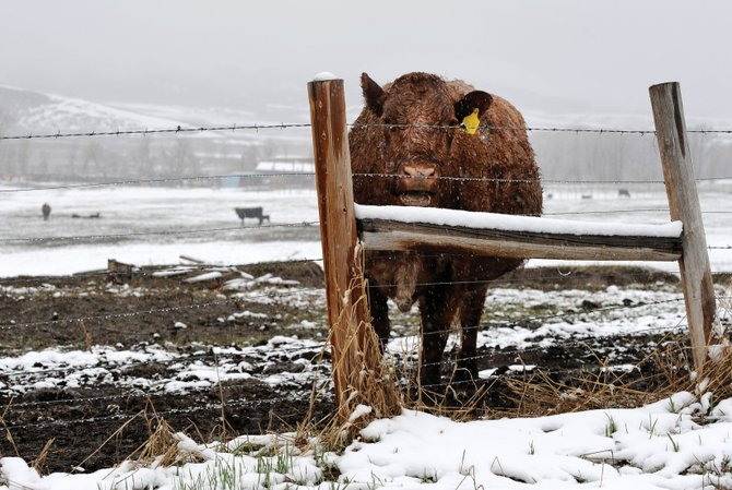 Snow falls on a cow Friday afternoon in a pasture along Routt County Road 129. Routt County cattle ranchers are embracing the cold wet weather because it will benefit their hay meadows.