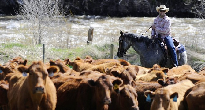 Ryan Wood, Under Armour founding member and owner of the Sweetwood Cattle Co. in North Routt County, works a herd of cattle Friday. Wood left Under Armour about three years ago to start a family and come back to Colorado.