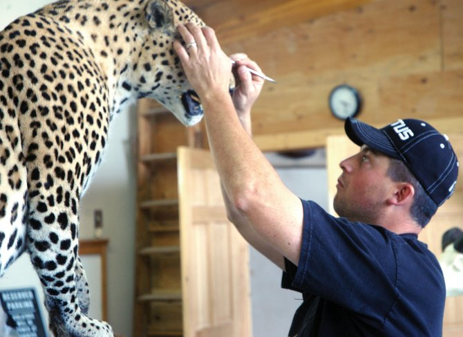 Leland Reinier, owner of Big Cat Taxidermy, works on a customer's leopard. Reinier has owned the business for six years after working with his father in Steamboat Springs.