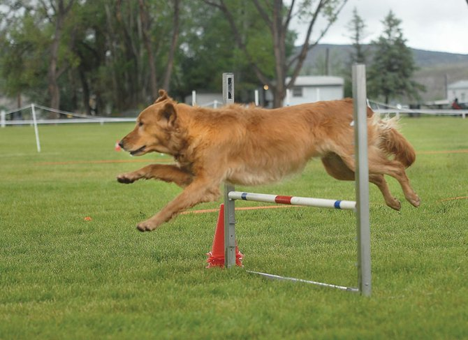 Sonic, a 2-year-old golden retriever, jumps over an obstacle Saturday during the Maybell Dog Agility Trials. His handler, Becky Wolf, said agility training is a great way to train and bond with an animal.