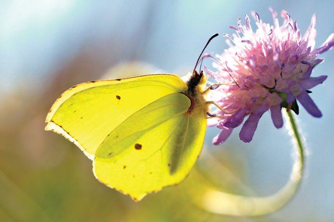 Butterflies make a great addition to any garden. Check with the Routt County Extension Office for a list of local butterfly species and plants that will help them thrive in your home garden.