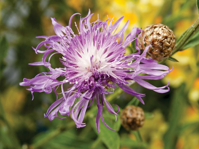 Knapweed is one of the nastiest noxious weeds in Routt County.