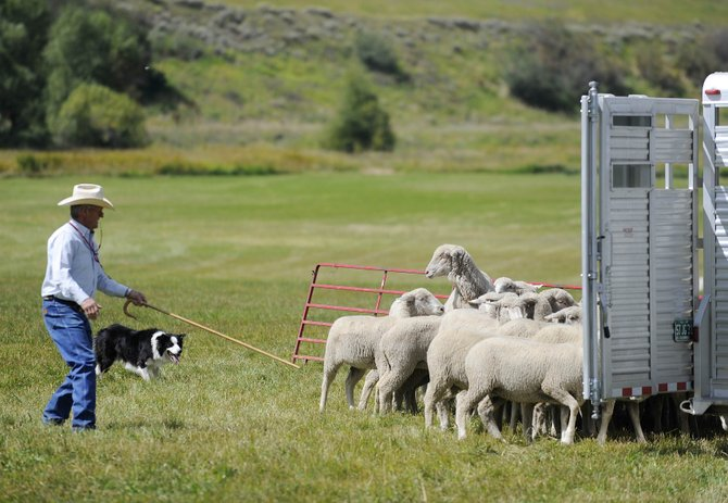 Chuck Riley, of Bowie, Texas, and his dog, Moss, try to move a herd of sheep into a trailer during a demonstration at Sunday's Steamboat Stock Dog Challenge at the Stanko Ranch.