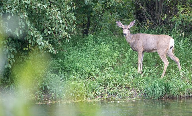A deer walks along the banks of the Yampa River on Friday.