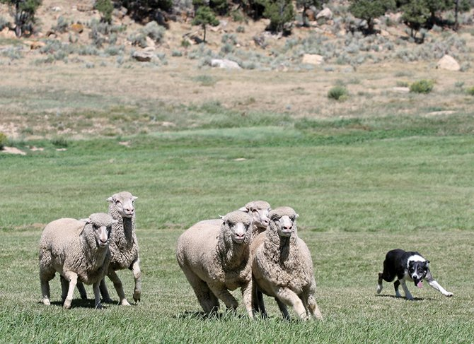 """Lad,"" an 8-year-old border collie owned and trained by Mike Furcolow, a retired veterinarian from Paonia, herds sheep Thursday during the 24th annual Meeker Classic Championship Sheepdog Trials. The event moves into the semi-finals today and the final round Sunday."