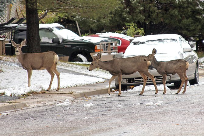 Three deer cross Pershing Street in Craig on Monday. A work session with the Colorado Division of Wildlife and the Craig City Council presented Craig residents with three options for removing a large portion of the city's deer. Some residents implored the city council to take action on the deer problem, while others stood against the action, instead advocating for consideration of other options.