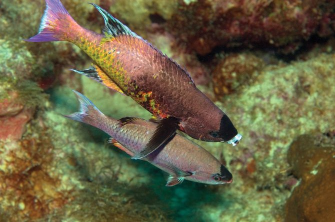 "Karen Schulman titled this underwater photo of two Creole Wrasse fish ""Caregiver."" The larger fish appears to be reaching a protective fin over the smaller fish."