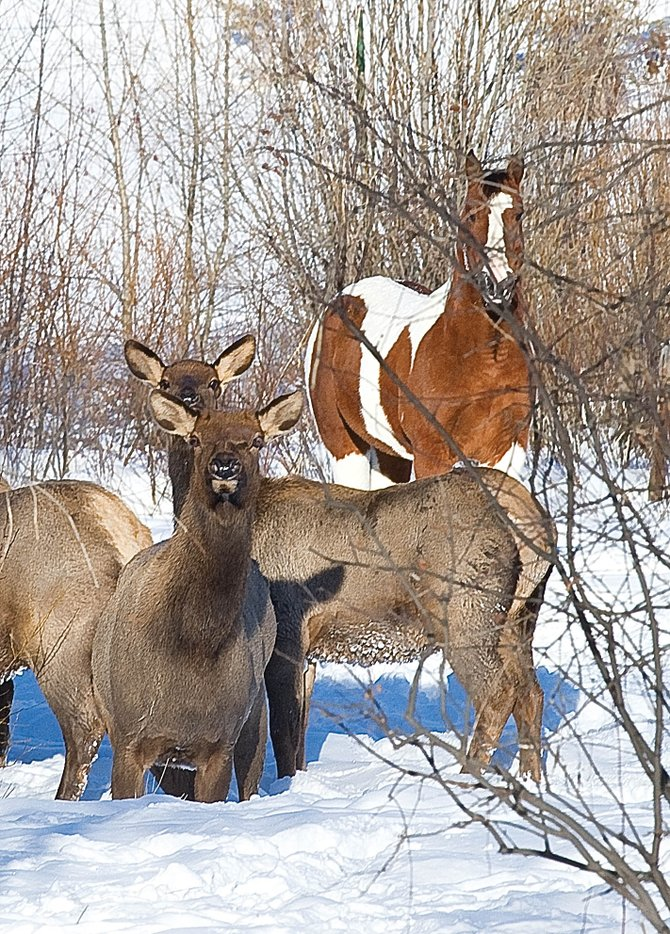 A small herd of elk has found shelter on a small ranch near the Yampa River. The animals already have begun showing up in suburban neighborhoods across Steamboat Springs in search of food.