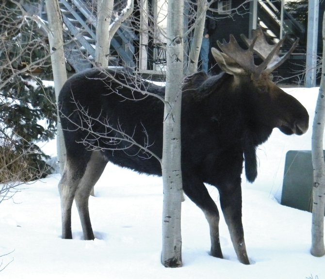 Donna Segale and Chuck Dunagin submitted this photo of a moose near Blue Sage Circle on Wednesday morning.  While this moose didn't mind being photographed, wildlife officials warn of potential dangers from encountering moose, particularly if walking a dog.