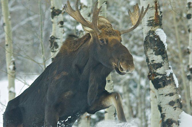 Steamboat Today reader Scott Hoffner captured a shot of this moose at noon Wednesday in his backyard near Rollingstone Ranch Golf Club. He said moose have become a more common sight in his neighborhood.