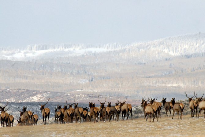 A herd of elk numbering more than 150 makes its way over a hill north of Craig. Prompted by concerns of local ranchers, Colorado Division of Wildlife officials have developed a plan they hope will lure elk away from feeding lines laid out by ranchers for cattle and sheep in the Maybell area. Officials expect to have two hay feeding areas installed by the end of the week.