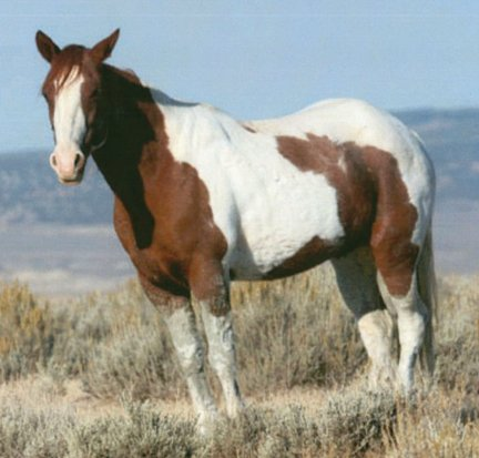This sorrel-and-white-paint mare was spotted in the Sand Wash Herd Management Area by the Bureau of Land Management in October 2010. It is one of two domestic horses to be abandoned in the management area in recent months. If you have any information on this animal, call the BLM Little Snake Field Office at 826-5000.