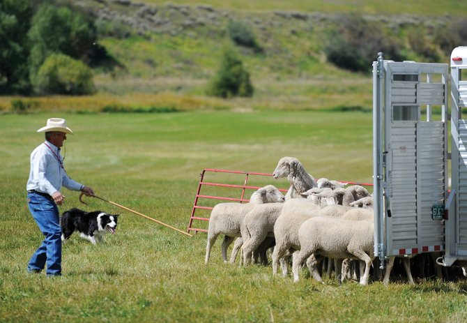 Chuck Riley, of Bowie, Texas, and his dog, Moss, try to move a herd of sheep into a trailer during a demonstration in September at the Steamboat Stock Dog Challenge at the Stanko Ranch. The number of farms in the state fell slightly from 2009 to 2010.