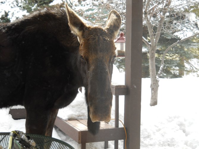 A moose looks into a Steamboat Springs home in February.