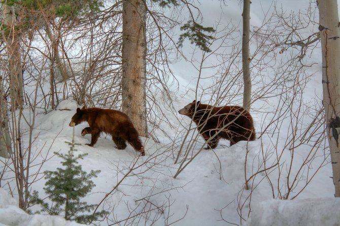 Bears coming out of hibernation were spotted along Fish Creek Falls Road in March. There have been several bear sightings in the area recently.