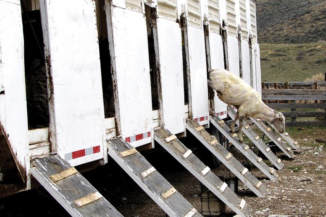 A freshly shorn Villard Ranch sheep exits the shearing trailer. A shortage of sheep worldwide and changes in the currency exchange favoring American-produced wool have created higher demand and prices for wool and lamb, local ranchers said.