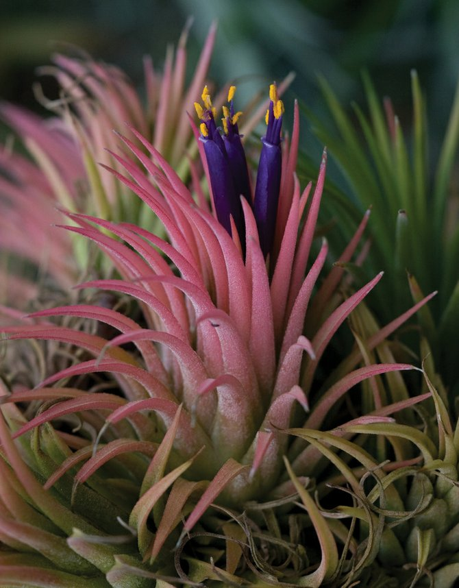 Tillandsia is an air plant and can be successfully maintained in Routt County homes.