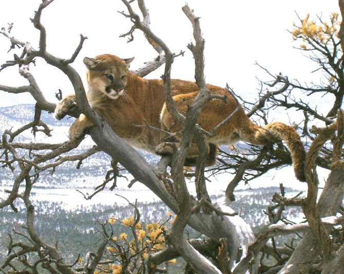 An adult mountain lion sits in a tree in this Colorado Division of Wildlife photo. Mountain lion sightings are rare, but the animals do live in and around Steamboat Springs. Recent sightings have been reported on Mount Werner and Emerald Mountain.
