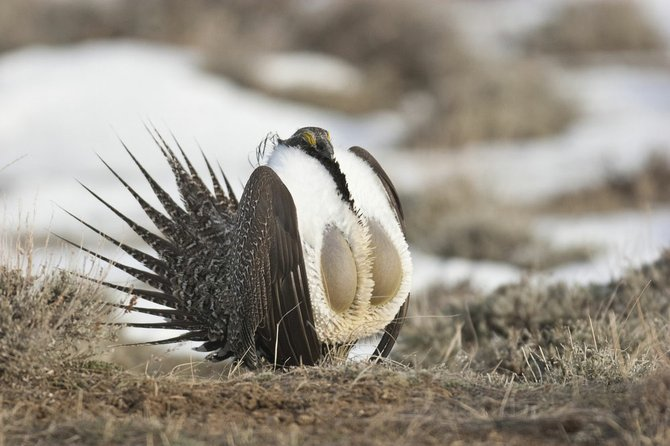Greater sage grouse males do a little song and dance to woo potential mates. Sound familiar?