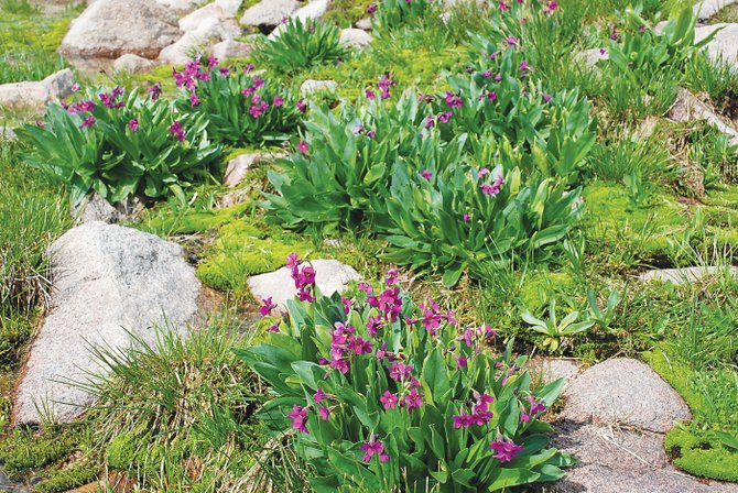The magenta-colored Alpine primrose could be late to bloom in the Mount Zirkel Wilderness Area this summer, but wildflower experts expect this to be a season to remember.