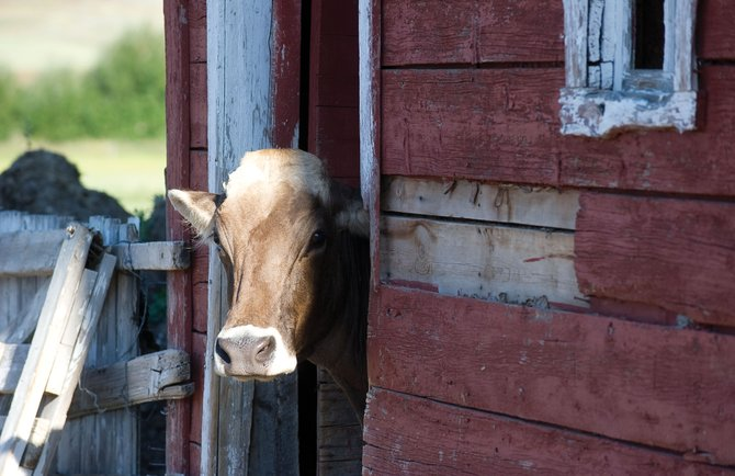 A milk cow pokes its head out of door of a barn at the Moonhill Dairy in North Routt County. The dairy, which was established by John Weibel and Lisa Sadler in July 2010, is producing milk, and hopefully cheese someday, in Northwest Colorado.