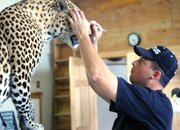 "Leland Reinier, owner of Big Cat Taxidermy, works on a customer's leopard in May 2010. Reinier worked with taxidermist Scott Moore to create the piece, ""Can't Kill the King,"" which won first place for collective artist at the Colorado State Taxidermy Competition earlier in June in Salida."