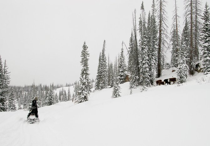A snowmobiler checks out the status of a pair of cows and their calves that were stranded in deep snow above 10,000 feet just west of summit Lake on buffalo Pass this week. Ranchers on horseback and U.S. Forest Service personnel on snowmobiles set out Wednesday in an effort to move the cattle to lower elevation.
