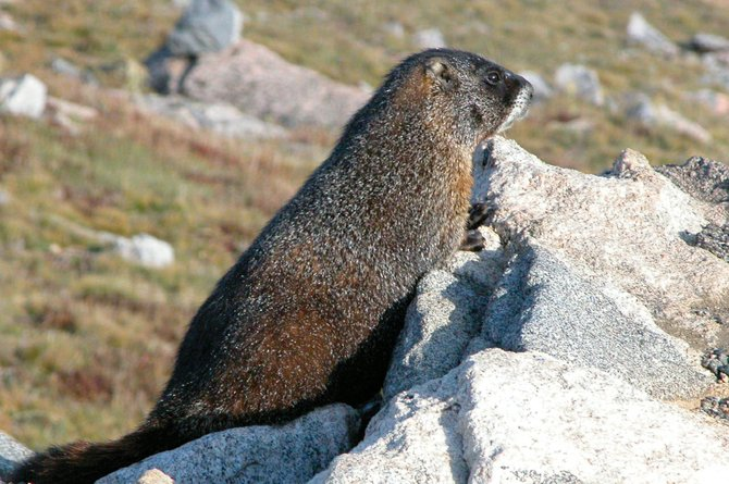 Can a rodent forecast the weather? If groundhogs are not common where you live, you can do what Alaska did in 2009 and declare Feb. 2 to be &quot;Marmot Day.&quot; After all, groundhogs are marmots. This big fellow definitely saw his shadow on this sunny day in the Flat Tops Wilderness Area south of Steamboat Springs.