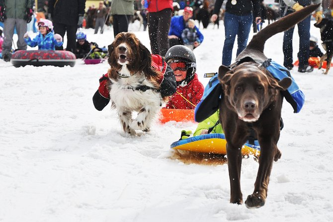 Springer Spaniel Hoyt pulls Tristan Thrasher in the doggy dash race on Sunday at the Winter Carnival in Steamboat Springs.