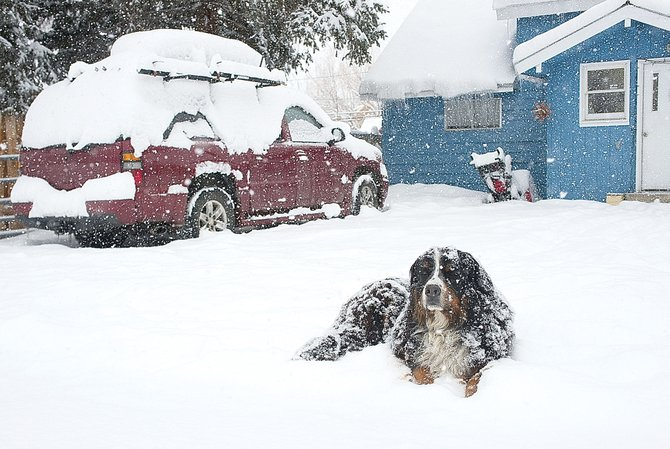 Necco didn't seem to mind the snow falling Tuesday morning as she lies in a yard on Logan Avenue in Old Town Steamboat Springs.