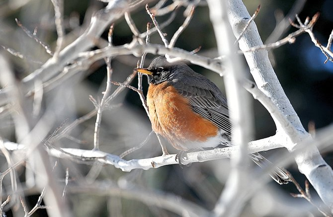 A robin warms up in the sun while sitting on a branch of a tree in the Steamboat II neighborhood Tuesday morning. Spring officially returned to the Yampa Valley on Tuesday.