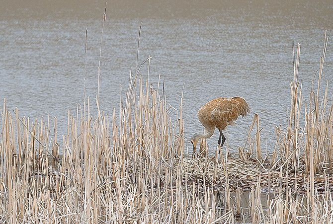 A sandhill crane hangs out near a nest in a wetlands area just outside of Steamboat Springs on Friday afternoon.