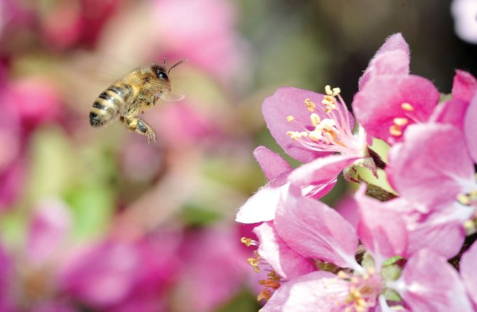 Most Steamboat Springs residents would welcome the sight of bees buzzing around a flowering crabapple tree at the end of winter. However, for those suffering from seasonal allergies, the sight may not be as welcome.