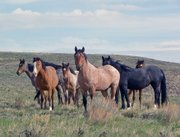 Wild horses at Sand Wash Basin travel in small family units, or bands.