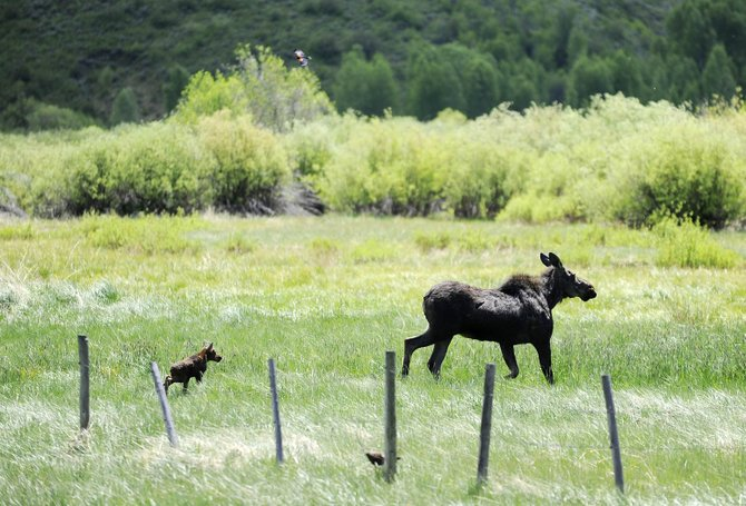 A moose calf walks toward the willows with its mother after freeing itself from a barbed-wire fence Friday along U.S. Highway 40 just south of Steamboat Springs. Colorado Division of Parks and Wildlife officers responded to the incident, which drew a crowd of onlookers.