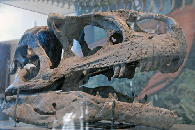 A skull of an Allosaurus, a meat-eating predator of the sauropod species discovered at Dinosaur National Monument, is on display in the Quarry Exhibit Hall in Jensen, Utah. The quarry reopened in October 2011, six years after monument officials closed it because of structural issues. More than 64,000 people have visited the monument since it reopened last year.