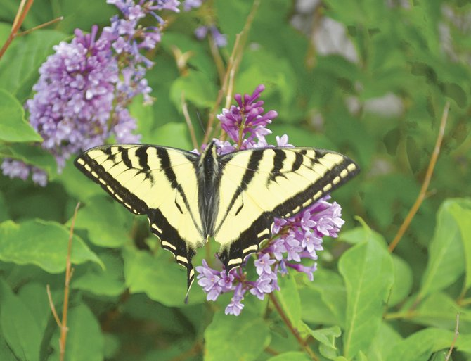 The abundant tiger swallowtail butterflies that came out early this summer endured the winter dormant in their chrysalises. Their caterpillars eat cottonwood and aspen leaves.